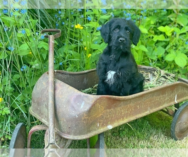 Medium Photo #3 Labradoodle Puppy For Sale in SILVERDALE, WA, USA