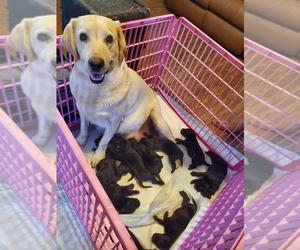 Labrador Retriever Puppy for sale in HERALD, CA, USA