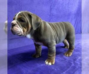 Bulldog Puppy for Sale in GROSSE POINTE FARMS, Michigan USA