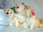 Maltipoo Puppy For Sale in ALAMEDA, NM, USA