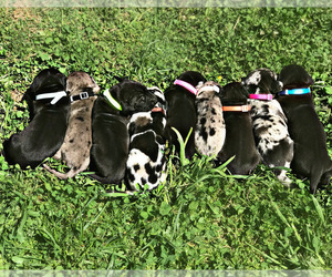 Great Dane Puppy for sale in PINNACLE, NC, USA