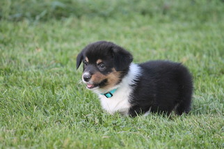 Pembroke Welsh Corgi Puppy For Sale in BRAYMER, MO