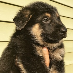 German Shepherd Dog Puppy For Sale in WELLFORD, SC