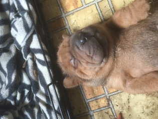 Chinese Shar-Pei Puppy For Sale in BOB WHITE, WV