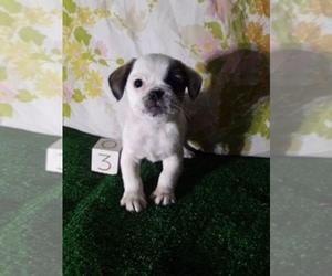 Pug Puppy for sale in SCOTTVILLE, MI, USA