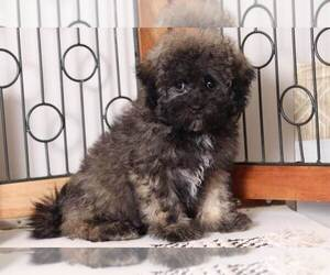Shih-Poo Dog for Adoption in NAPLES, Florida USA