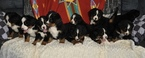 Bernese Mountain Dog Puppy For Sale in ATWOOD, Illinois,