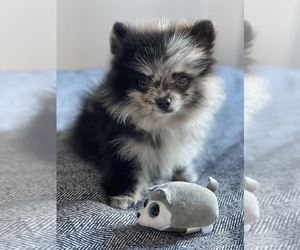 Pomeranian Puppy for sale in EMPIRE STATE, NY, USA