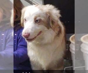 Australian Shepherd Puppy for sale in WELDA, KS, USA