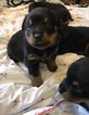 Rottweiler Puppy For Sale in PHILADELPHIA, PA