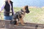 German Shepherd Dog Puppy For Sale in WELLINGTON, CO