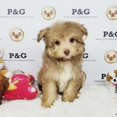 Pomeranian-Poodle (Toy) Mix Puppy for sale in TEMPLE CITY, CA, USA