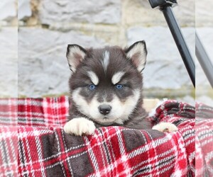 Siberian Husky Puppy for sale in MERCERSBURG, PA, USA