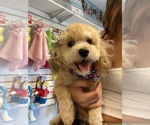 Poodle (Toy) Puppy for sale in GRANGER, IN, USA