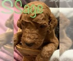 Poodle (Standard) Puppy For Sale in WILLARD, MO, USA