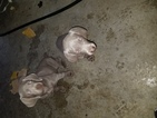 Weimaraner Puppy For Sale in COLTON, CA, USA