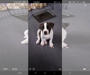 American Bulldog Puppy for Sale in FORT MADISON, Iowa USA