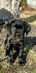 Cane Corso Puppy For Sale in BEAR, DE, USA
