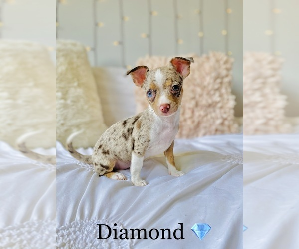 Medium Photo #1 Chihuahua Puppy For Sale in COOKEVILLE, TN, USA