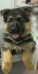 German Shepherd Dog Puppy For Sale in HARTWELL, GA