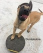 Belgian Malinois Puppy For Sale in EVANS, CO,