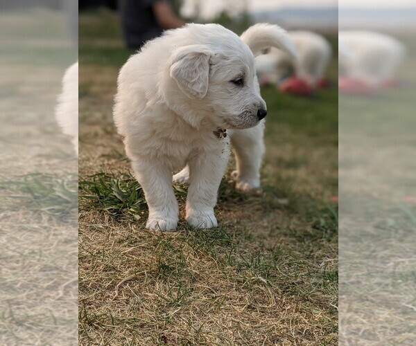 Medium Photo #100 Great Pyrenees Puppy For Sale in FALCON, CO, USA