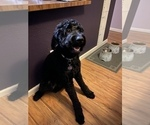 Small Photo #1 Goldendoodle Puppy For Sale in MORENO VALLEY, CA, USA