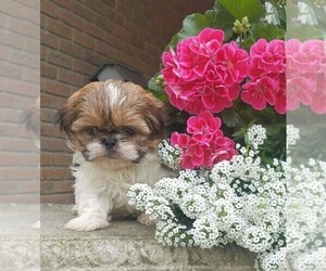 Shih Tzu Puppy for Sale in FREDERICKSBG, Ohio USA