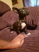 Chihuahua Puppy For Sale in SHREVEPORT, LA, USA