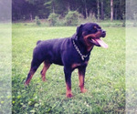 Small #22 Rottweiler