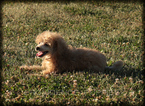 Poodle (Miniature) Puppy For Sale in WAYLAND, IA, USA