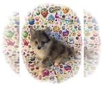 Pomeranian Puppy For Sale in CLARKSVILLE, TN, USA