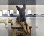 Small #1 Dutch Shepherd Dog-Malinois Mix