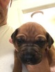 Rhodesian Ridgeback Puppy For Sale in NEW MILFORD, CT, USA