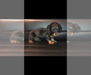 Dachshund Puppy for Sale in QUANAH, Texas USA