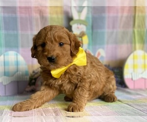 Goldendoodle Puppy for sale in LANCASTER, PA, USA