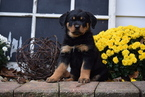 Rottweiler Puppy For Sale in FREDERICKSBURG, OH, USA