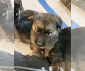 German Shepherd Dog-Siberian Husky Mix Puppy for sale in LOS GATOS, CA, USA