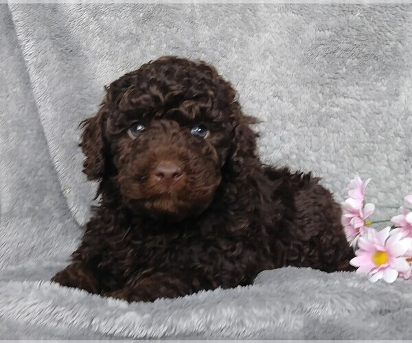 View Ad: Labradoodle-Poodle (Miniature) Mix Puppy for Sale In Russia