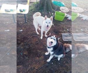Alusky Puppy for sale in JONESBORO, AR, USA