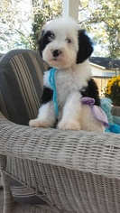 Sheepadoodle Puppy for sale in LEPANTO, AR, USA