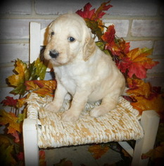 Goldendoodle Puppy For Sale in LIBERTY, SC, USA