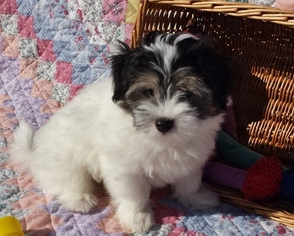 Havanese Puppy For Sale in ANDOVER, MA