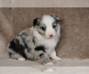 Miniature Australian Shepherd Puppy for Sale in CHEHALIS, Washington USA