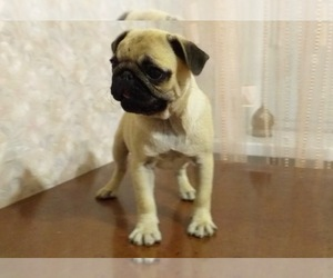 Pug Puppy for Sale in HOLLYWOOD, Florida USA