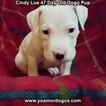 Small Photo #11 Dogo Argentino Puppy For Sale in PINEVILLE, MO, USA