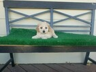 Maltipoo Puppy For Sale in SANTA CLARITA, CA, USA