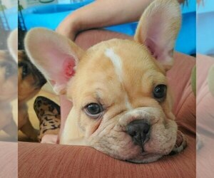 French Bulldog Puppy for sale in PIONEER, CA, USA