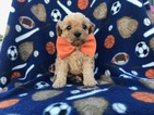 Cavapoo Puppy For Sale in BROGUE, PA, USA