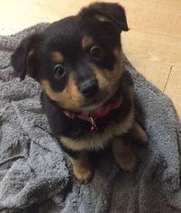 View Ad Pomeranian Mix Puppy For Sale Texas Dallas Usa